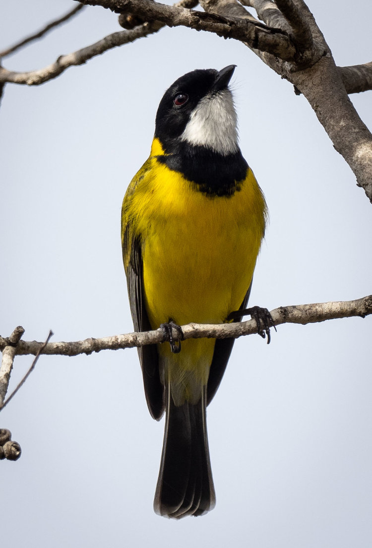 Western Whistler - male