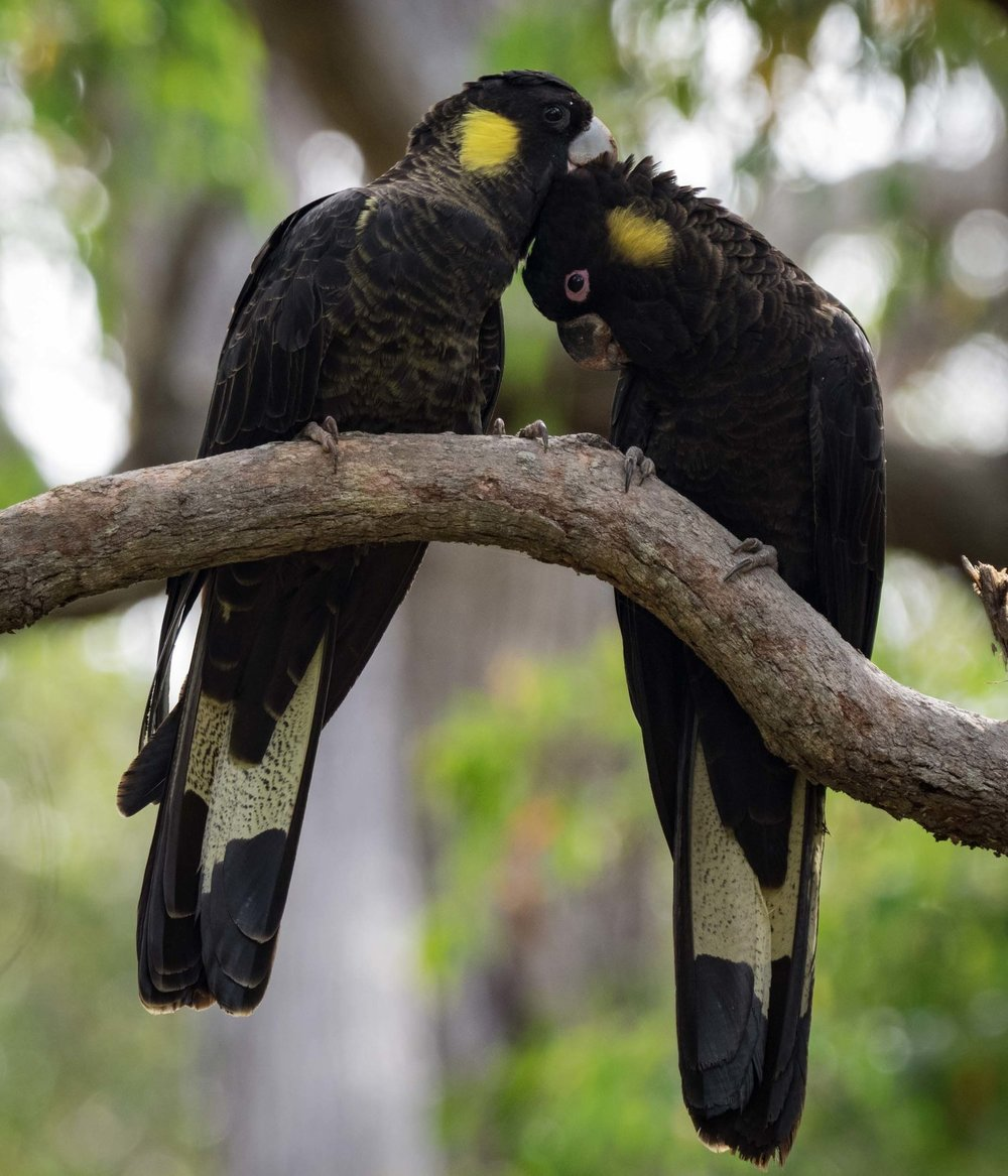 Yellow-tailed Black Cockatoo, Calyptorhynchyus funereus