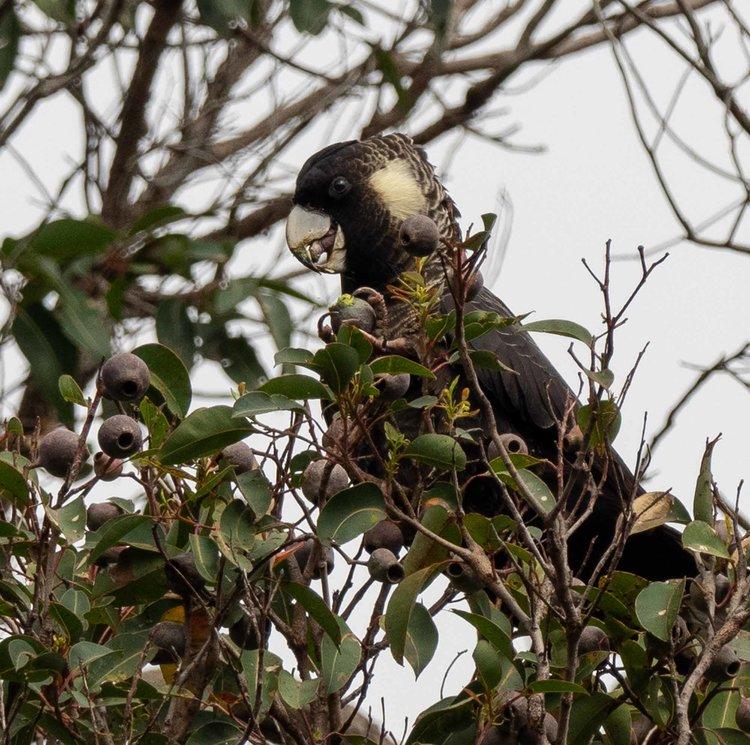 Baudin's Black-Cockatoo, Calyptorhynchus baudinii