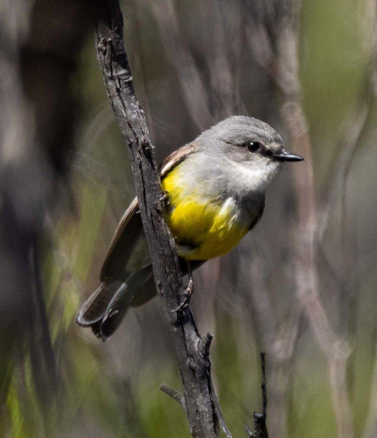 Western Yellow Robin, Eopsaltria griseogularis