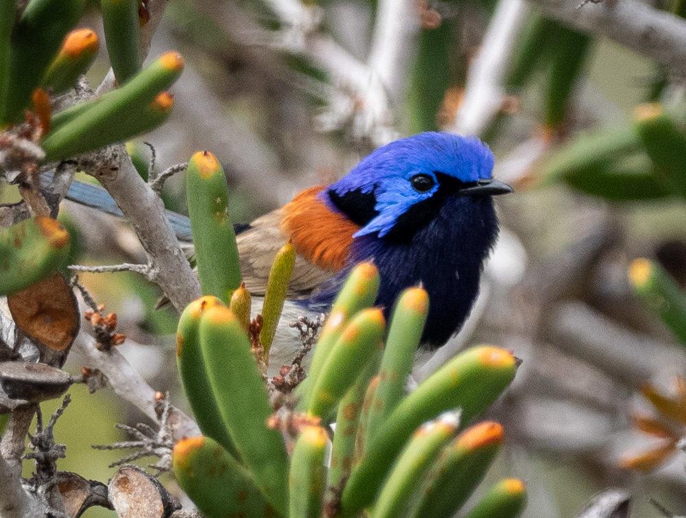 Blue-breasted Fairy-wren, Malurus pulcherrimus