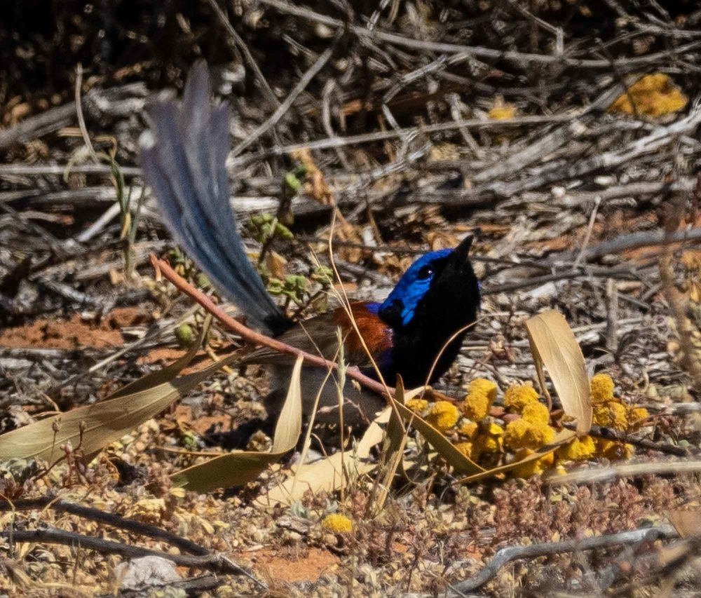 Variegated Fairy-wren, Malurus lamberti