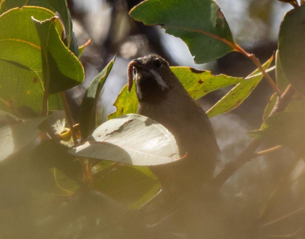 Western Whipbird, Psophodes nigrogularis oberon