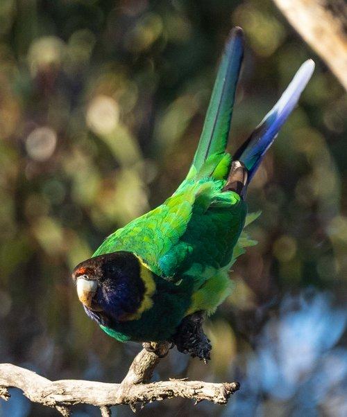 Australian Ringneck, Twenty-eight Parrot