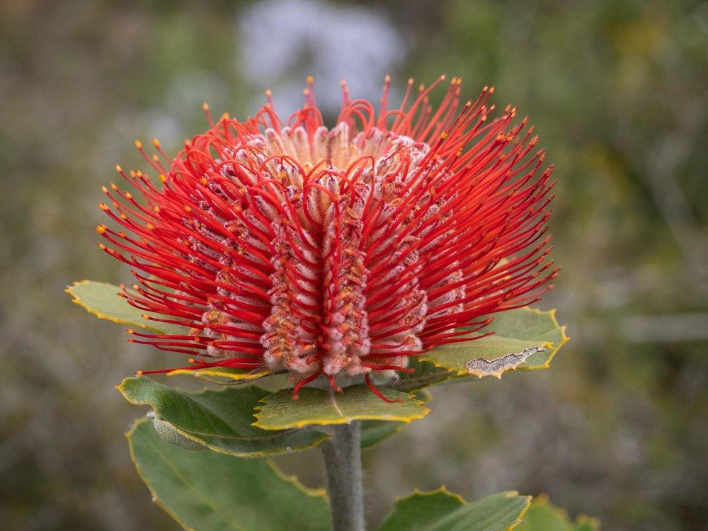 Banksia coccinea (Scarlet Banksia)