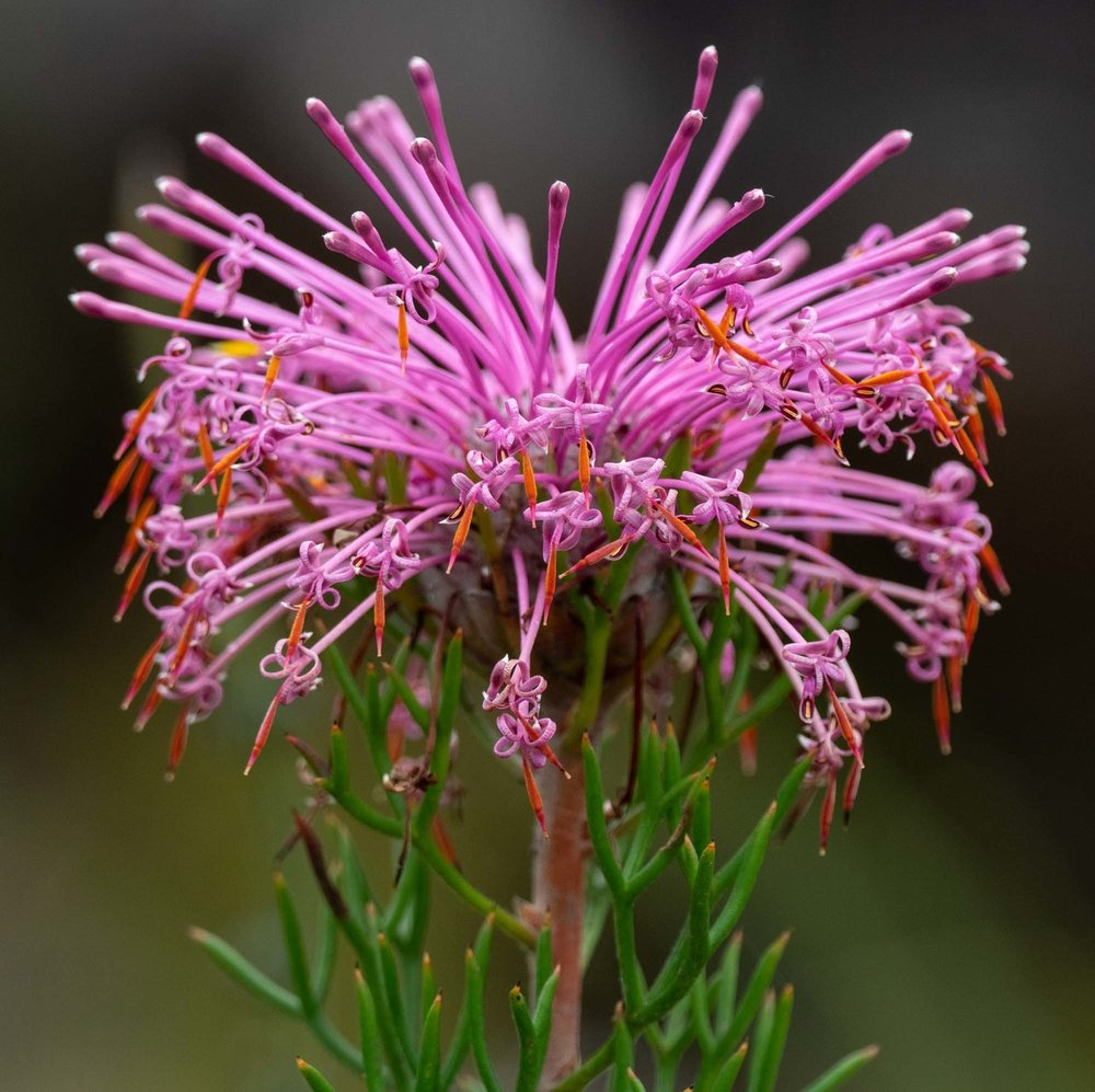 Isopogon sp. (Coneflower)