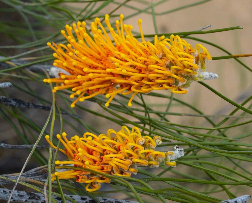 Grevillea excelsior (Flame Grevillea)