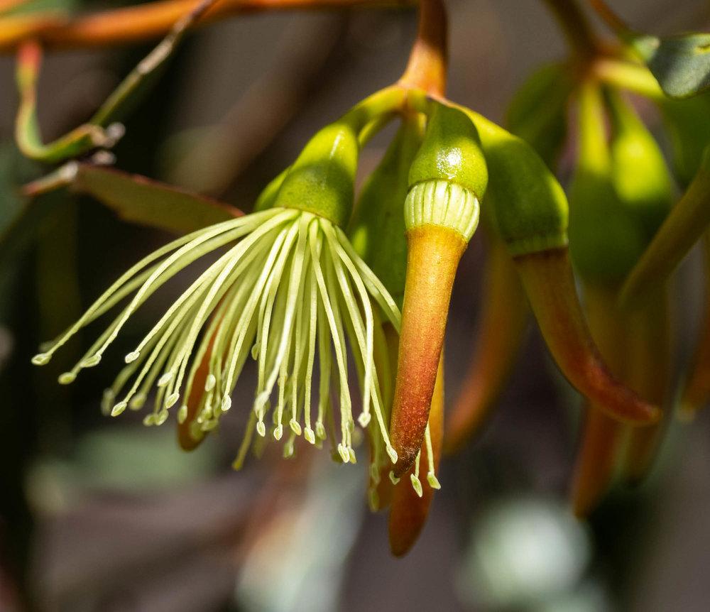 Eucalyptus eremophila (Tall Sand Mallee)