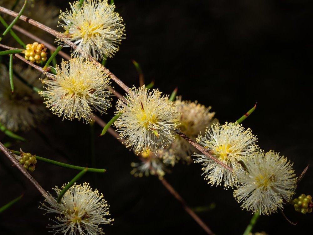 Acacia sp  … Peak Charles NP, Oct
