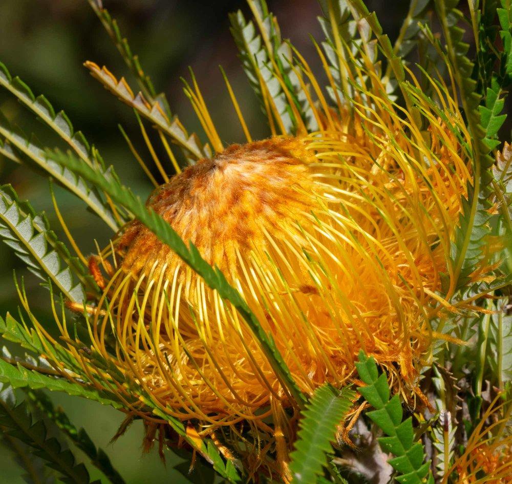 Banksia formosa (Showy Dryandra)