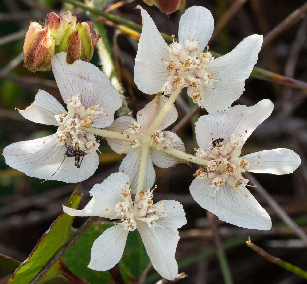 Xanthosia rotundifolia (Southern Cross)