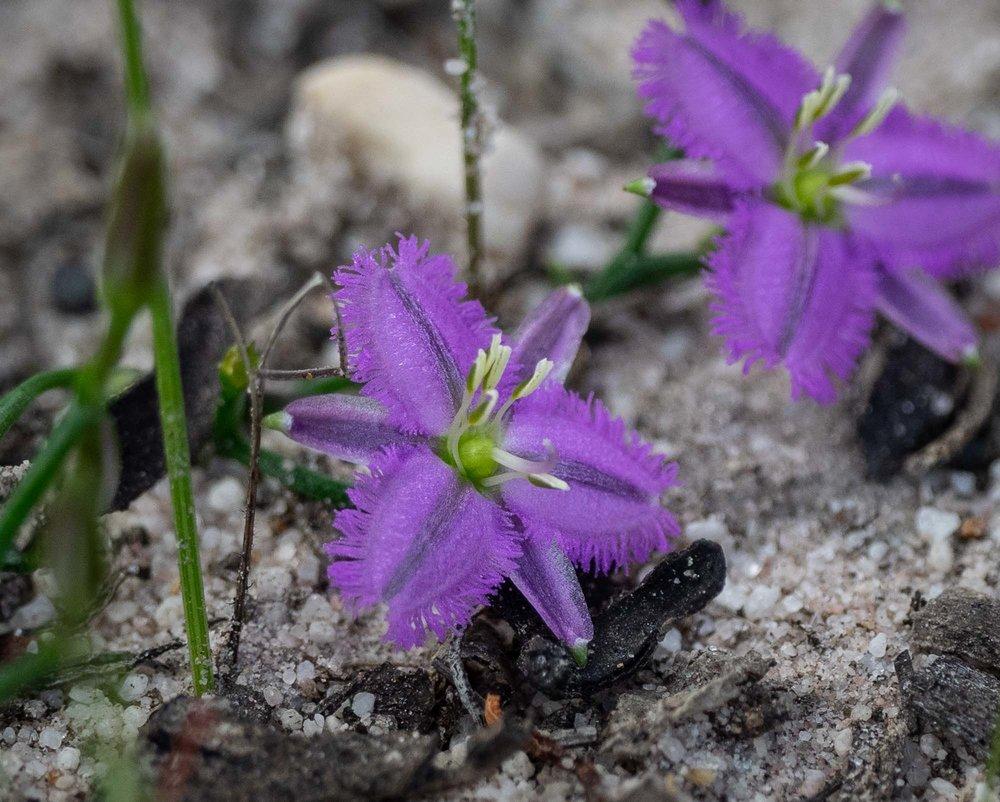 Thysanotis sp. (Fringe Lily)