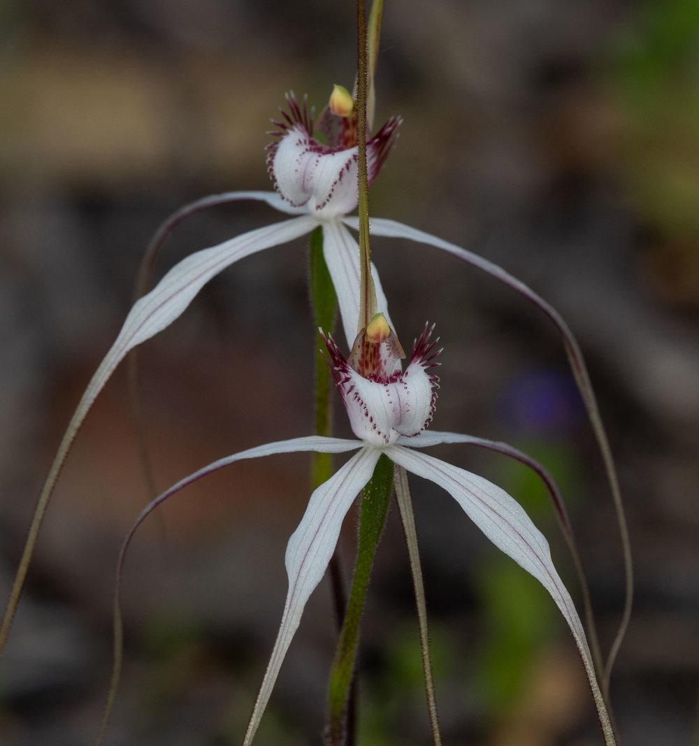 Caladenia longicauda ssp. eminems (Stark White Spider Orchid)