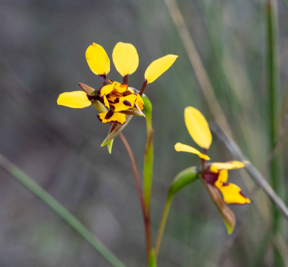 Diuris laxiflora (Bee Orchid)