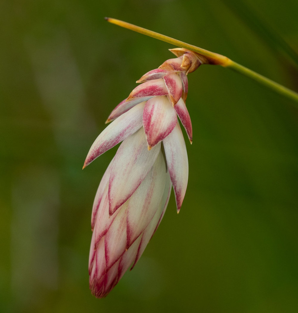Johnsonia lupulina (Hooded Lily)