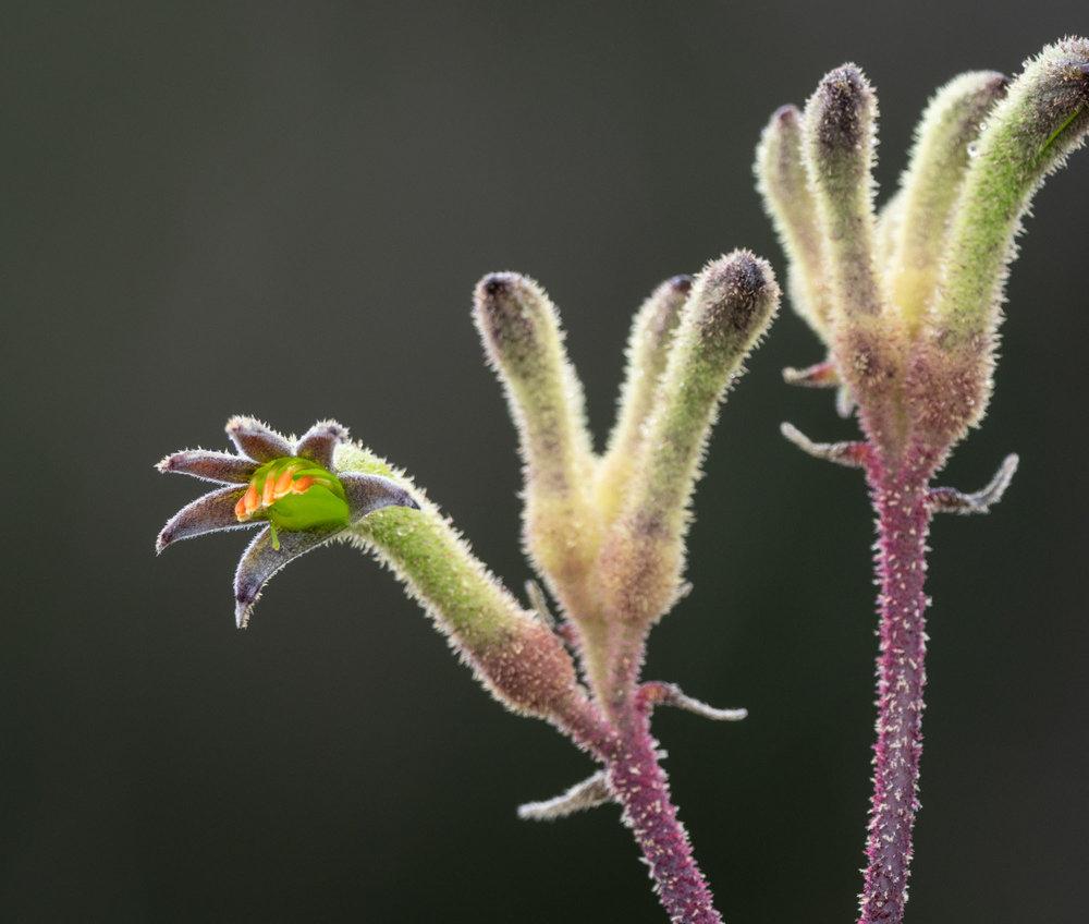 Anigozanthus flavidus (Tall Kangaroo Paw)