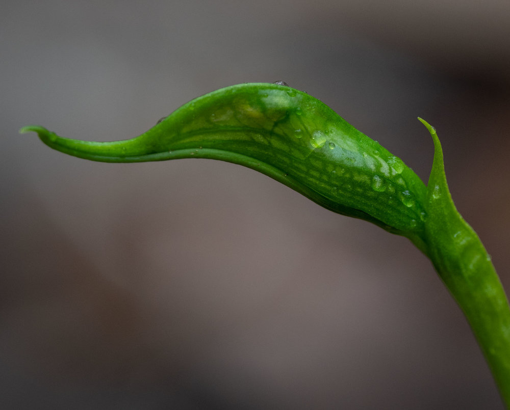 Pterostylis barbata (Bird Orchid)
