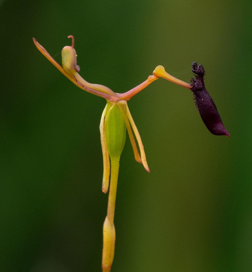 Drakaea thynniphila (Narrow Leaf Hammer Orchid)