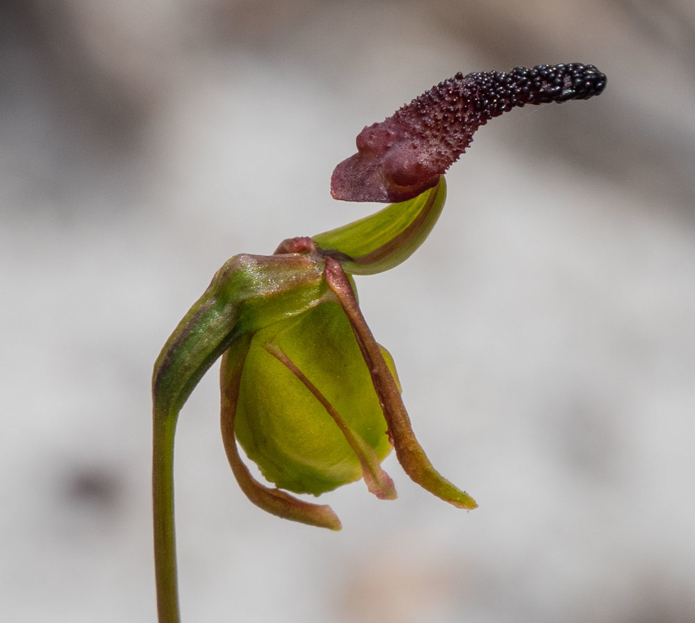 Paracaleana nigrita (Flying Duck Orchid)