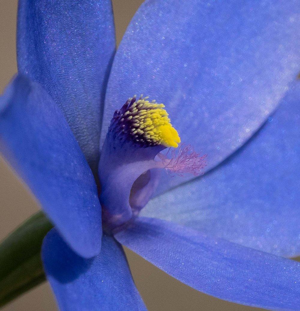 Thelymitra crinita (Lily Orchid)