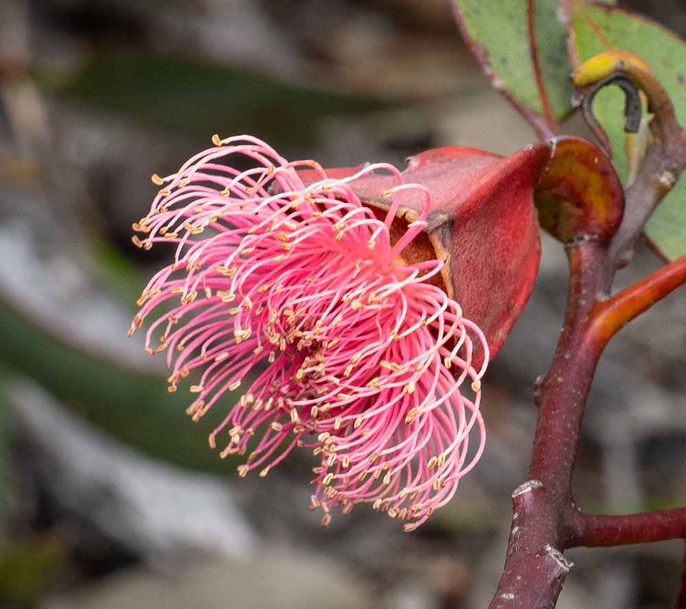 Eucalyptus tetraptera (Square-fruited Mallee)
