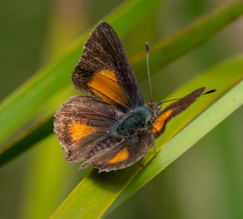 Bright Copper butterfly
