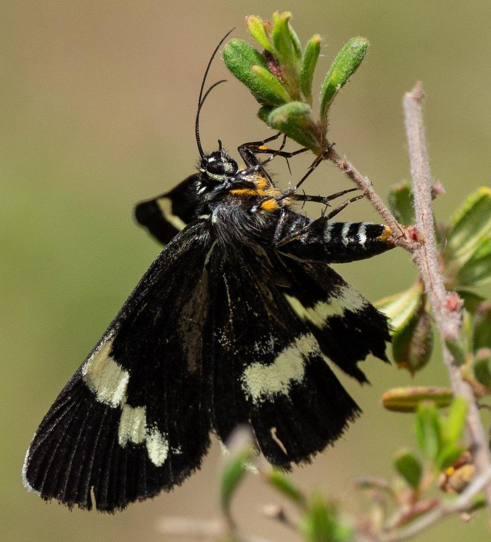 moth laying eggs on Hibertia