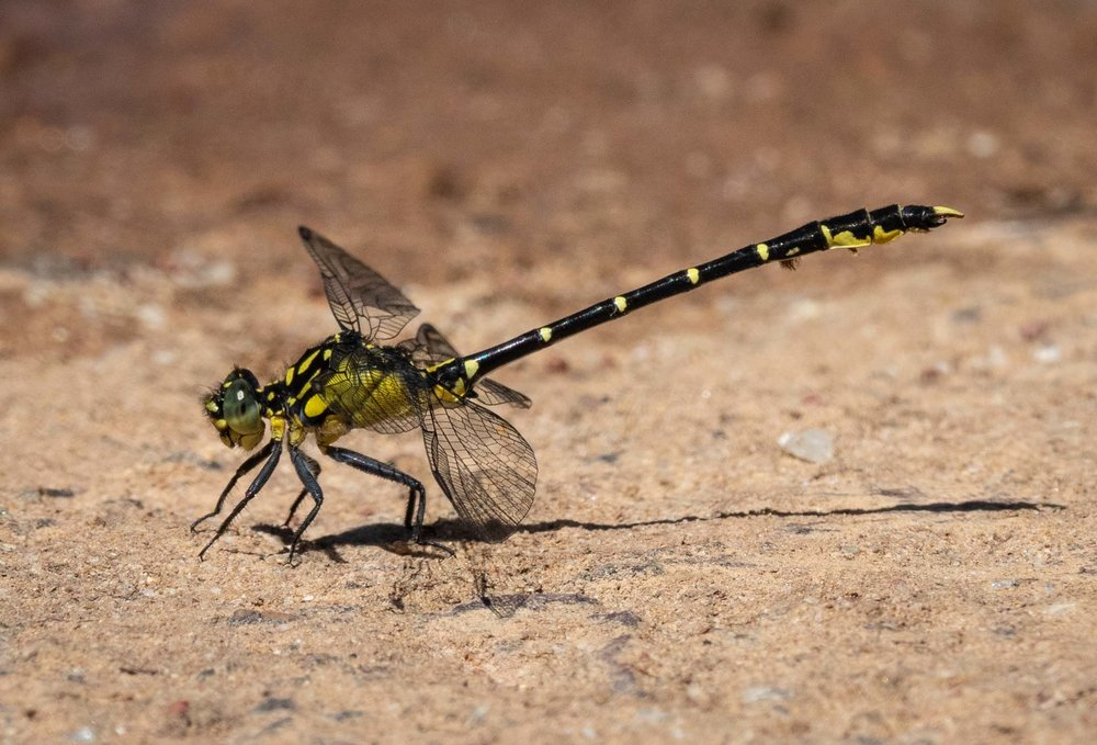 26/12/18: a male Southern Vicetail ( Hemigomphus gouldii )