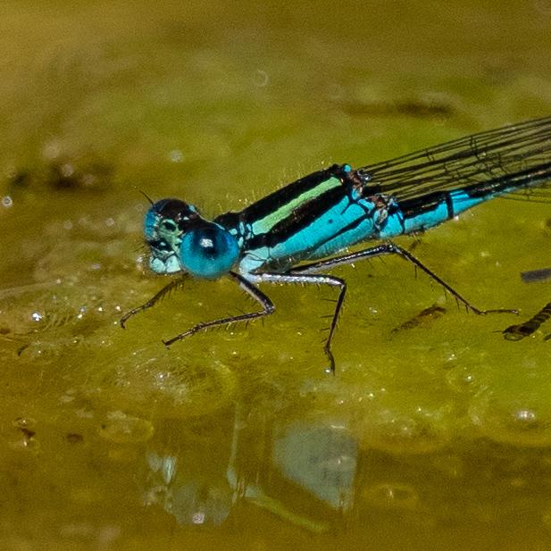 Eastern Billabongfly - male