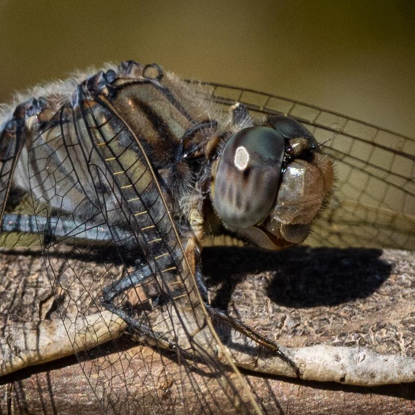 Blue Skimmer - male
