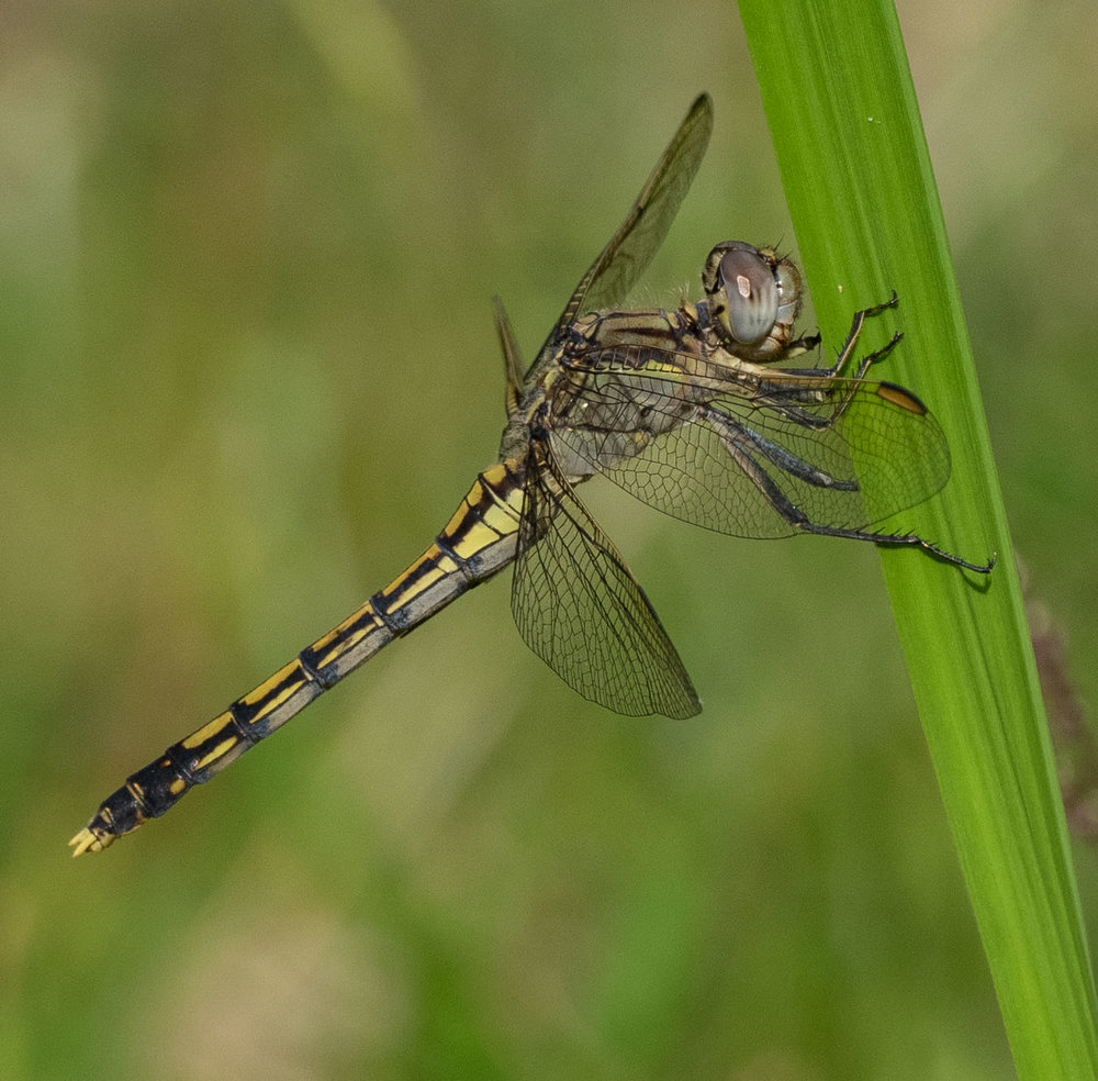 December 2018: Blue Skimmer dragonfly ( Orthetrum caledonicum )