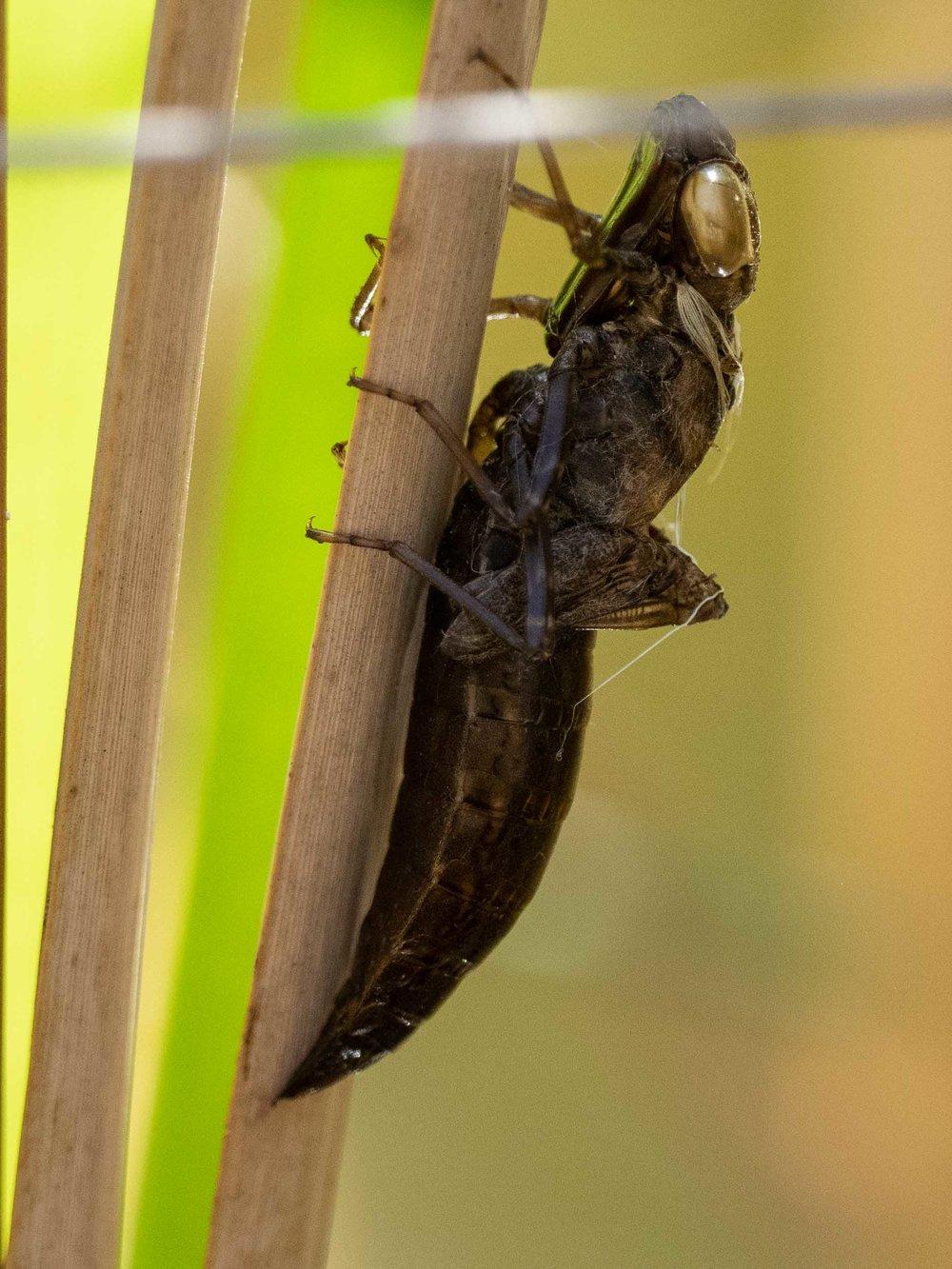 28/12/18: Shed exoskeleton of unknown dragonfly larva