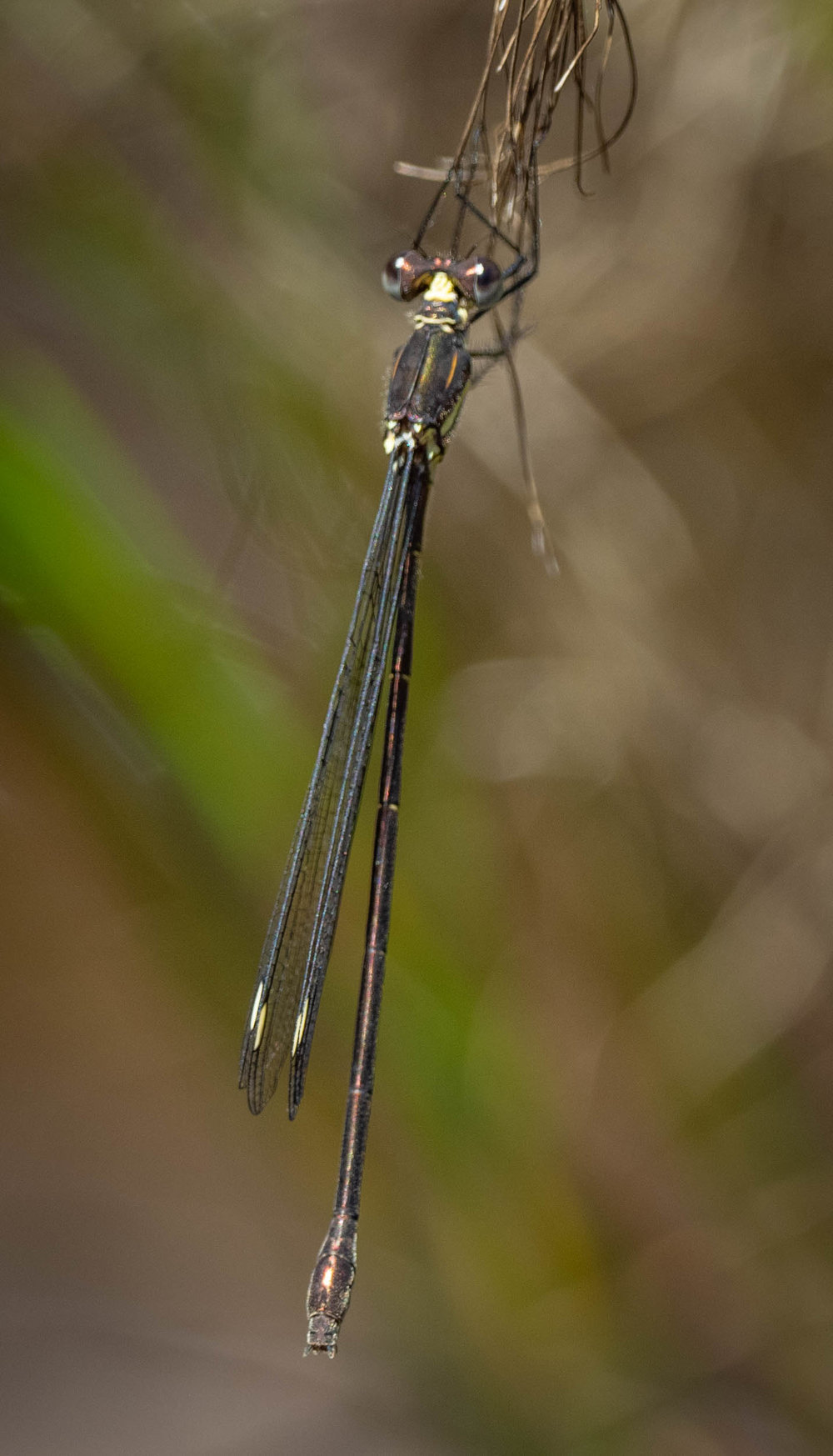 Bronze Needle - female