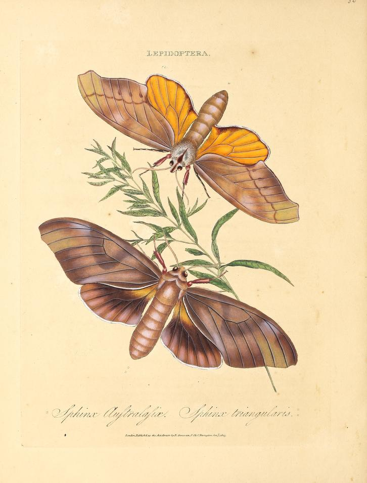 Plate 33 from Donovan (1805)
