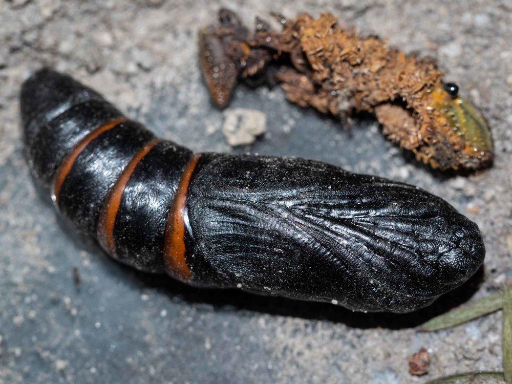 'flick' of the 70mm long chrysalis