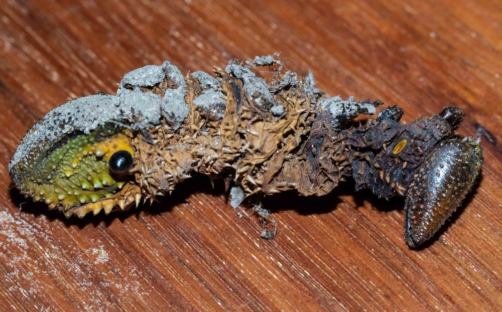 30 Dec: Alongside the chrysalis lay her discarded, final caterpillar skin - shed several weeks earlier.