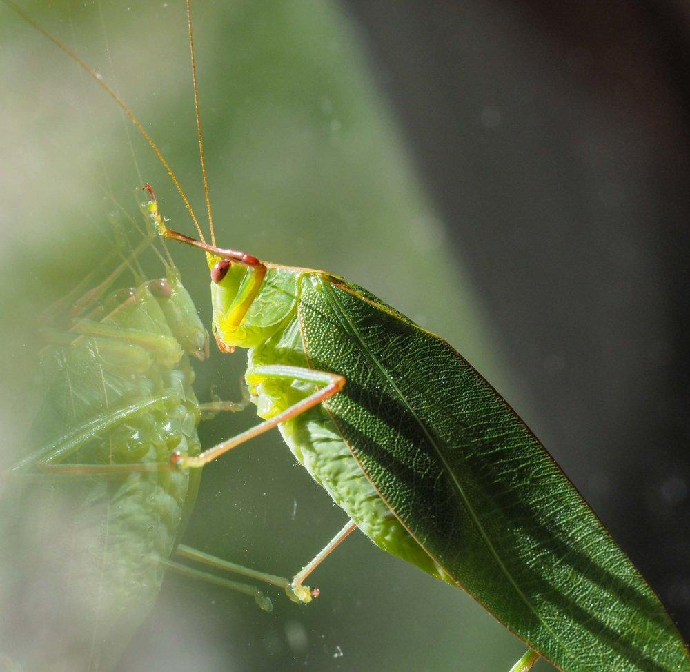 Caedicia simplex (Garden Katydid)