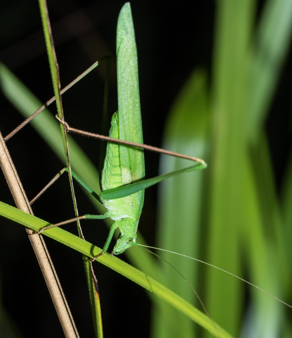 Polichne parvicauda (Short-tailed Polichne)