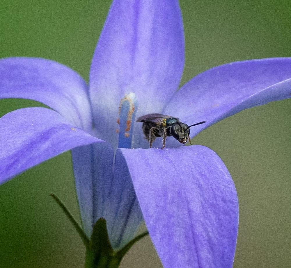 Waxy Bluebell & a metallic bee