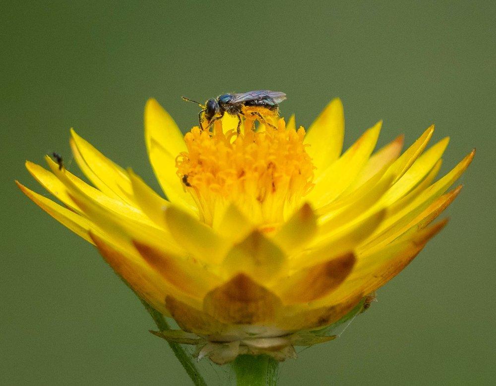 another metallic bee
