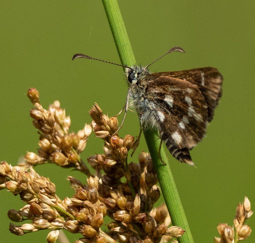 Ochre butterfly