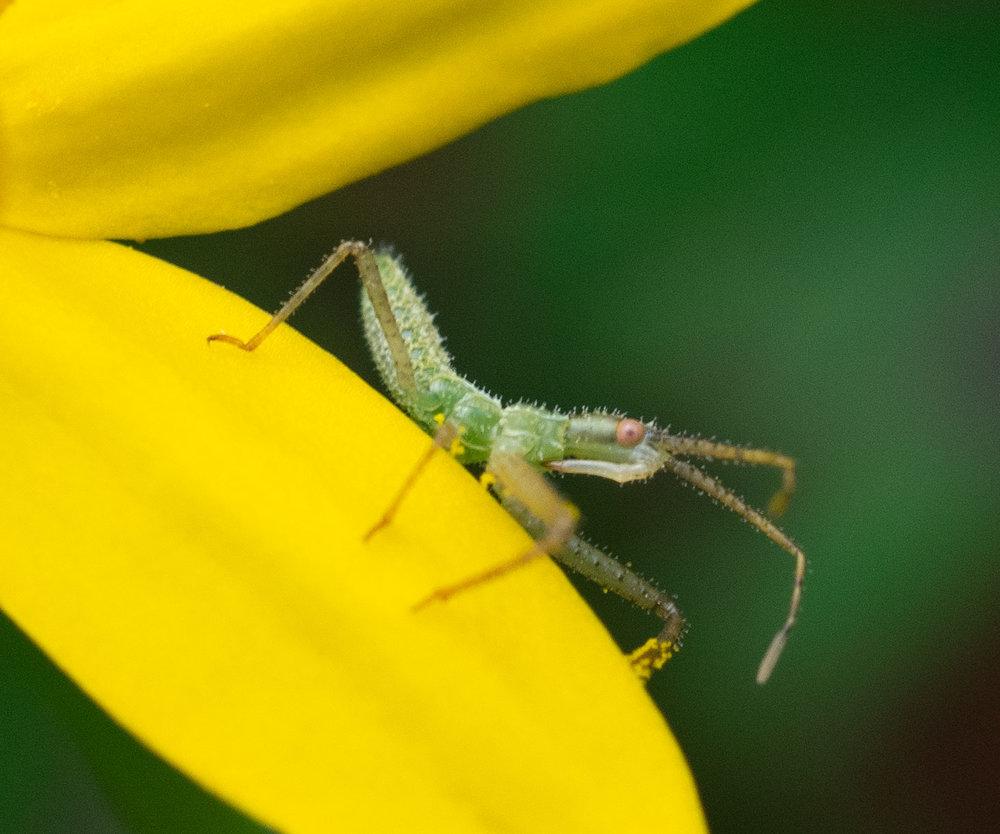 tiny assassin bug nymph