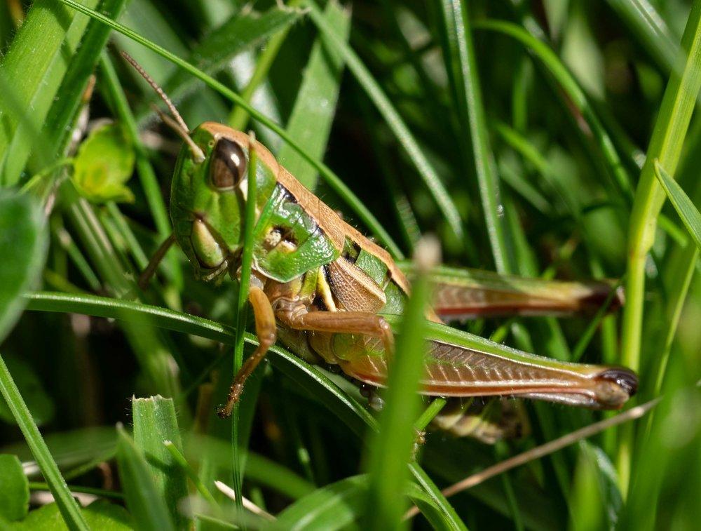 Short-winged Grasshopper