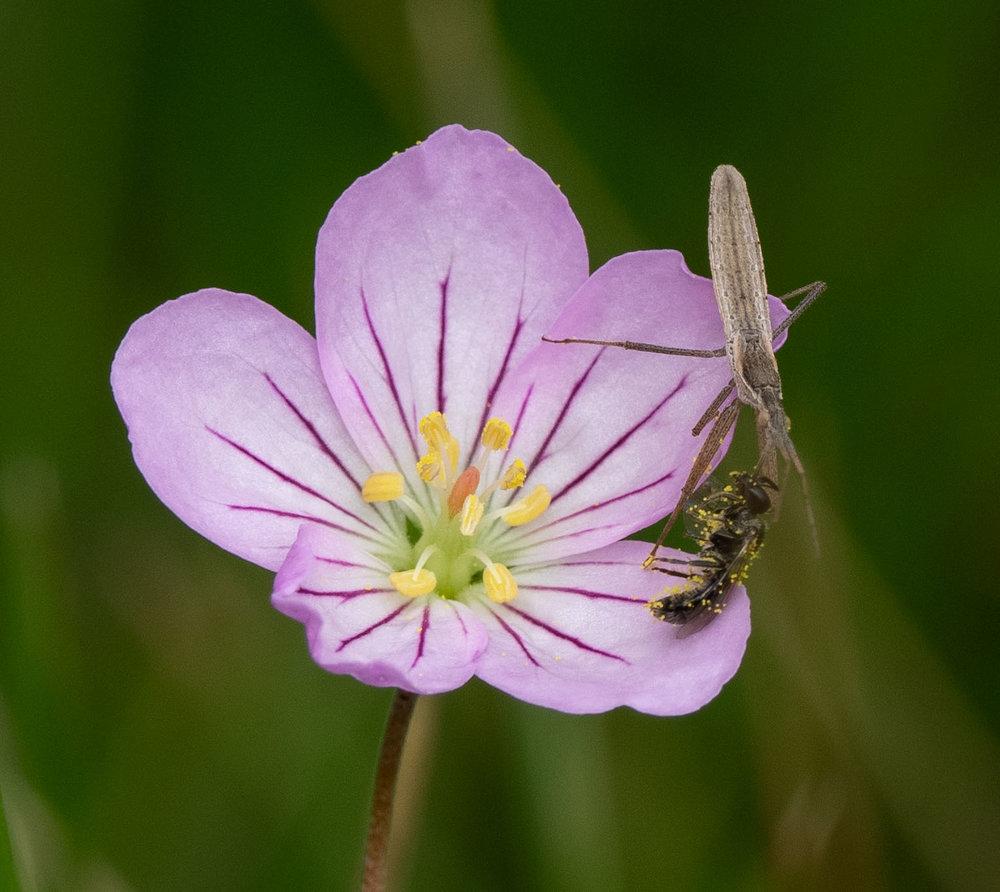 native geranium ... with drama