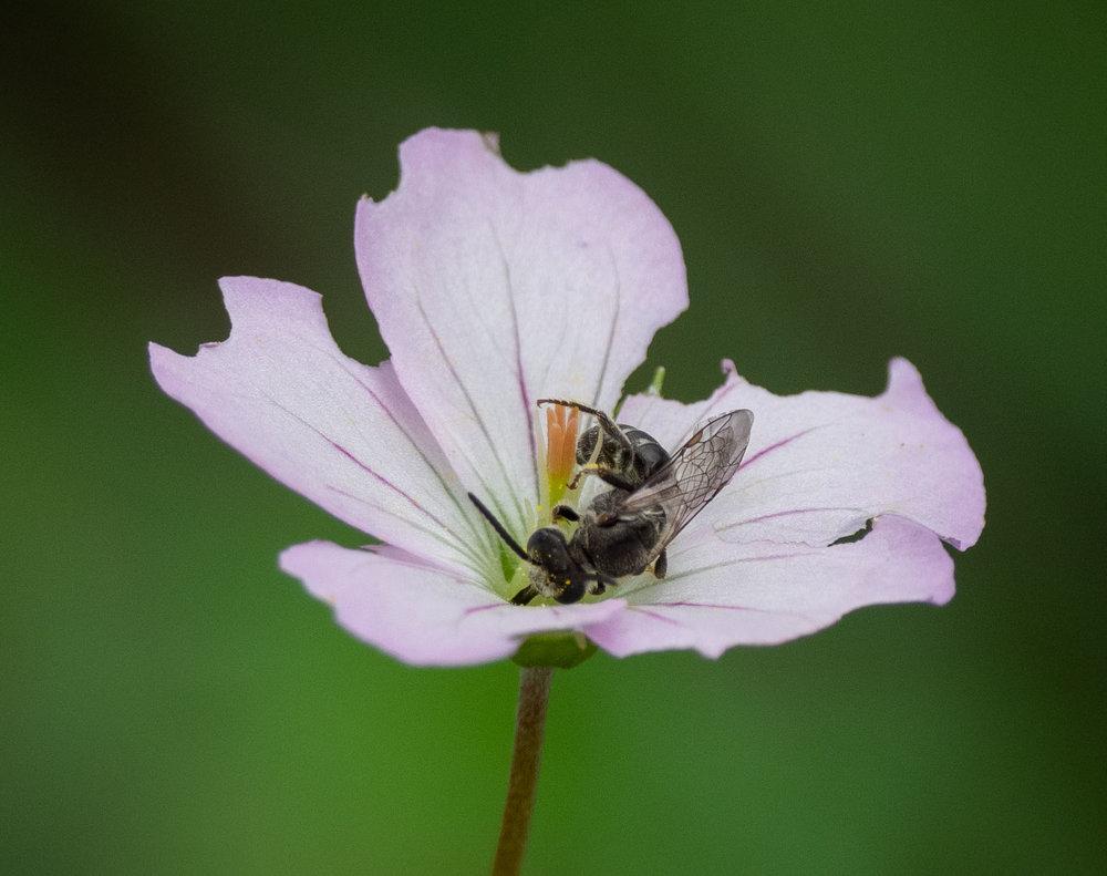 Lasioglossum bee on geranium