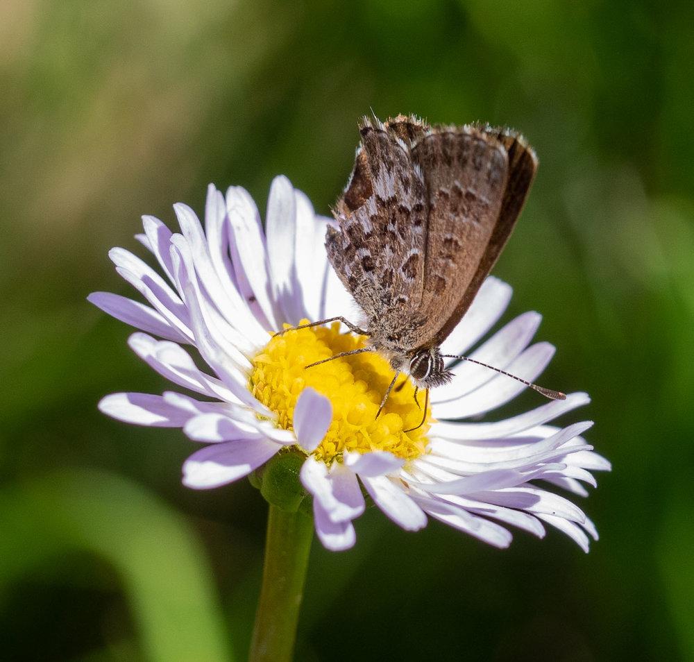 Fringed Heath Blue butterfly