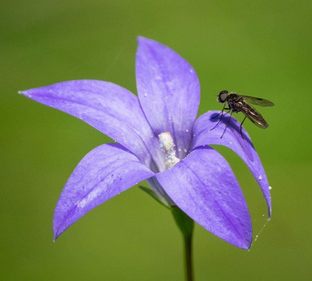 Waxy Bluebell & tiny fly
