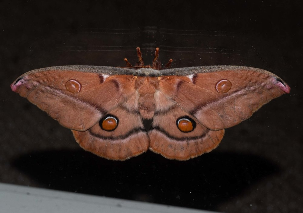 Opodiphthera eucalypti  Emperor Gum Moth - a 130mm wide beauty beating on our loungeroom window