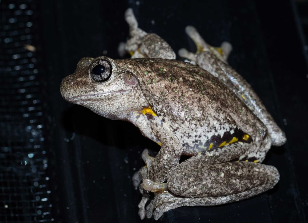 Emerald-spotted Tree Frog