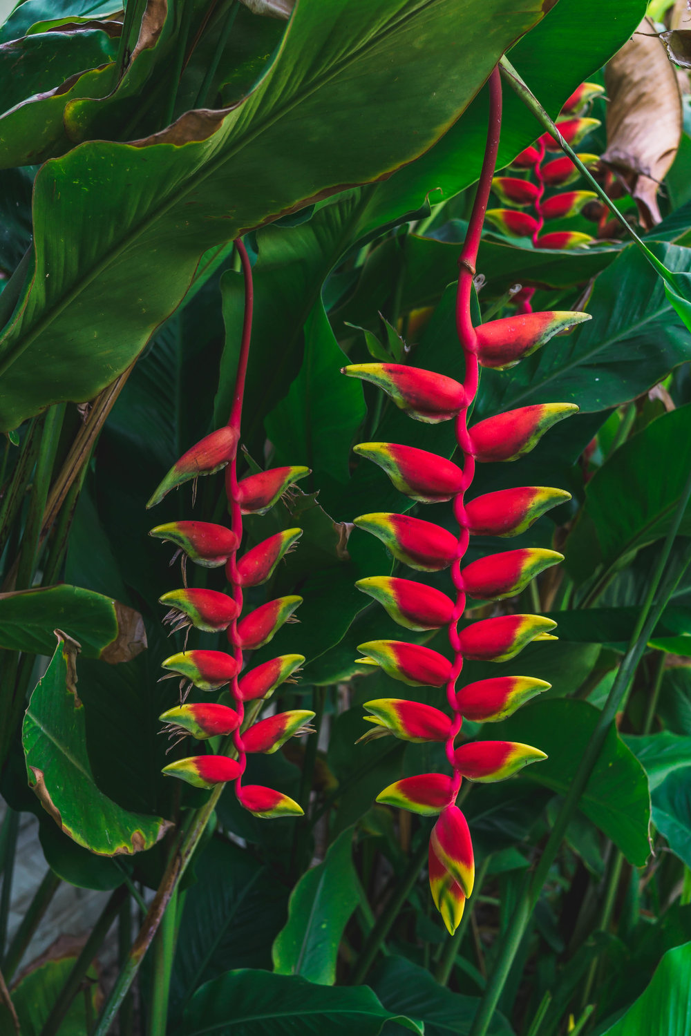 Heliconia flowers, Indonesia
